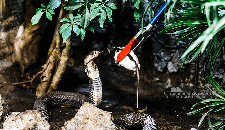 Feeding Frozen Thawed Food vs  Live Prey to Captive Reptiles