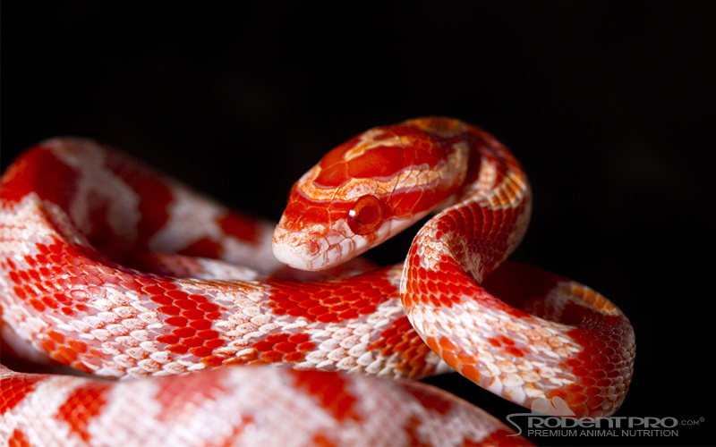 Corn Snake Questions And Answers