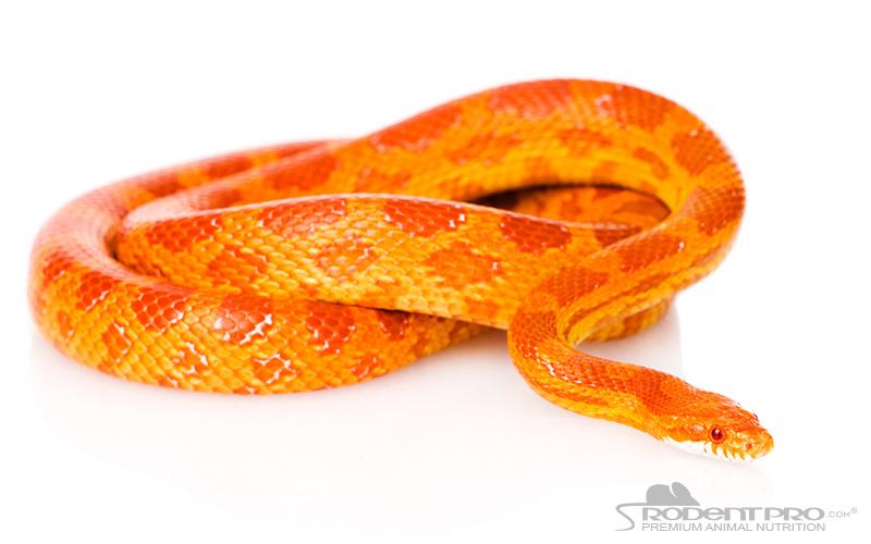 Creamsicle Corn Snake